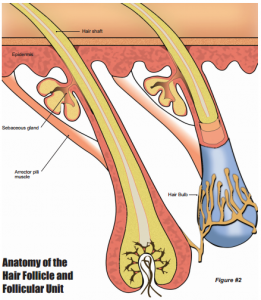 Hair Follicle and Follicular Unit